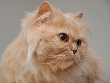 Free Close Up Persian Cat Stock Images - 15685464