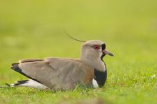 Southern Lapwing (Vanellus Chilensis). Stock Images