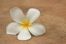 Free Plumeria Flower Royalty Free Stock Photography - 15688507