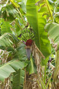 Free Flower Of Banana Royalty Free Stock Photography - 15691707