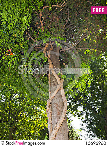 Free Clinging Vines On A Tree Trunk Stock Photo - 15696960