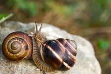 Two Snails On Stone Royalty Free Stock Photo
