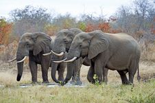 Free Elephant Trio Royalty Free Stock Image - 15691026