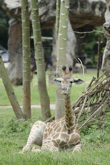Free Relaxing Young Giraffe Royalty Free Stock Photo - 15691345