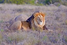 Free Proud Male Lion Royalty Free Stock Photography - 15691377