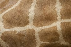 Free Young Giraffe Skin Royalty Free Stock Image - 15691396