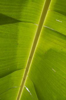 Green Leaf Of Banana Stock Photos