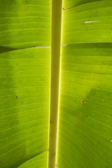Green Leaf Of Banana Stock Photography