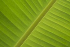 Green Leaf Of Banana Stock Photo