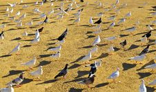 Free Flock Of Pigeons Stock Photography - 15692152