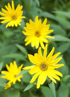 Free Yellow Flowers Royalty Free Stock Photo - 15692815