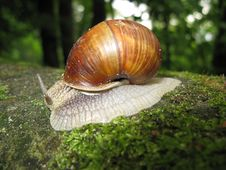 Free Snail Royalty Free Stock Image - 15693056