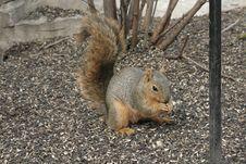 Free Squirrel Royalty Free Stock Image - 15695826