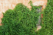 Brick Wall With Ivy Stock Image