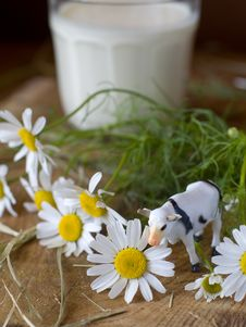 Cow And Daisy Stock Photography