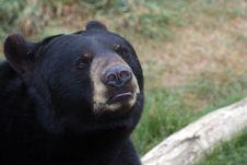 Free Black Bear Royalty Free Stock Image - 15696656