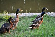 Free Duck And Drakes Stock Photo - 15696780
