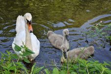 Free Swan Family Stock Photo - 15696790