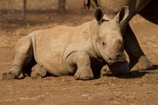 Free Baby White Rhinoceros Royalty Free Stock Photos - 15697038