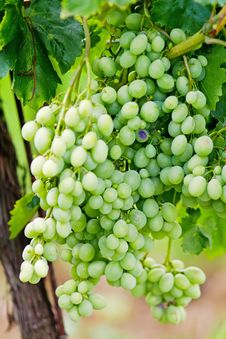 Free Green Grape Cluster Stock Photo - 15697400