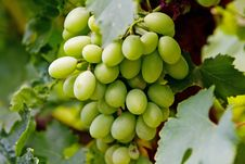 Free Green Grape Cluster Stock Photo - 15697470