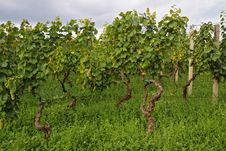 Free Vineyard Stock Photo - 15697530