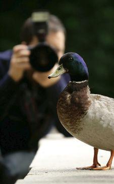 Free Model Ducks Royalty Free Stock Photography - 15698337