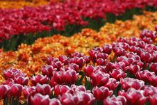 Free Tulipa  Debutante , Triumph Tulip Royalty Free Stock Images - 15698449