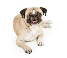 Pug Dog With One Eye Stock Photos