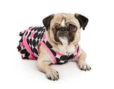 Free Pug Dog With One Eye In A Polka Dot Dress Stock Images - 15698654