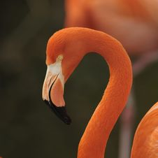 Free Flamingo, Portrait. Stock Photos - 15698913