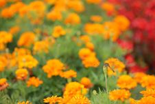 Free Calendula And Red Dragonfly Royalty Free Stock Image - 15699206