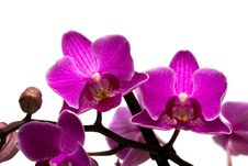 Orchid Isolated On White Royalty Free Stock Photos