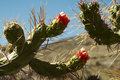 Free Cactus Flowers Royalty Free Stock Photos - 1574848
