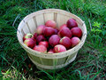 Free A Barrel With Apples Stock Photo - 1577240