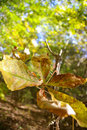 Free Fall Leaves Royalty Free Stock Photo - 1577395