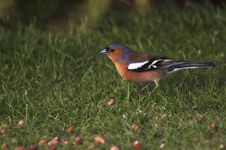 Free Chaffinch Royalty Free Stock Image - 1571386