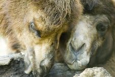 Free Two Camels Stock Photo - 1571870