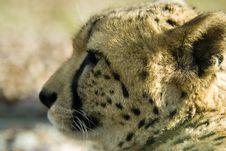 Free Cheetah Stock Photos - 1572723