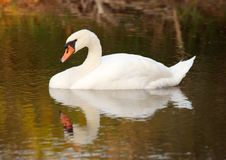 Free Alone Swan Royalty Free Stock Photography - 1574987