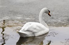 Free Winter Swan-1 Royalty Free Stock Image - 1575046