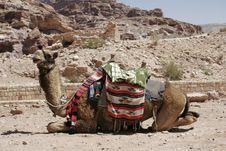 Free Camel, Petra, Jordan Royalty Free Stock Image - 1575616
