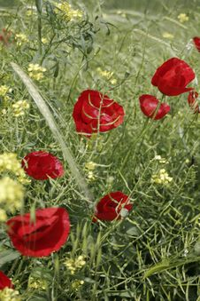 Free Red Poppies Royalty Free Stock Photo - 1575635