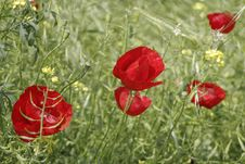 Free Red Poppies Royalty Free Stock Image - 1575636