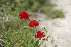 Free Red Poppies Royalty Free Stock Photography - 1575637