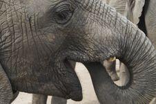 Free Africa Elephants (Loxodonta Africana) Royalty Free Stock Image - 1575666