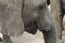 Free Africa Elephant (Loxodonta Africana) Stock Photography - 1575712