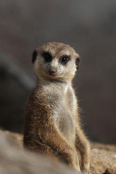 Free Meerkat Stock Photo - 1575790