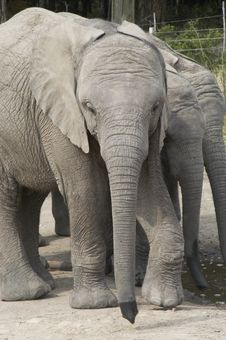 Free Africa Elephants (Loxodonta Africana) Royalty Free Stock Images - 1575899