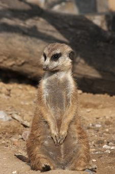 Free Meerkat Royalty Free Stock Photo - 1575905